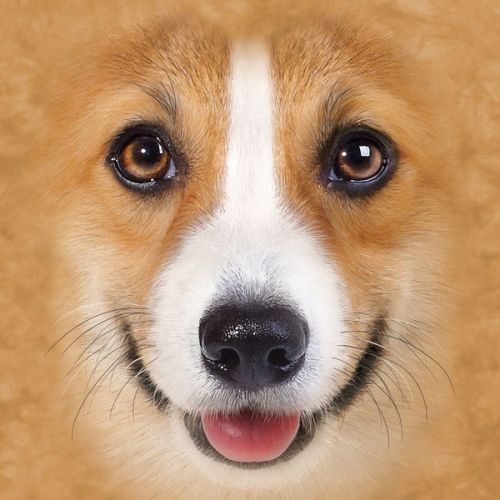 Design of Dog, Mammal, Vertebrate, Canidae, Dog breed, Welsh Corgi, Carnivore, Nose, Pembroke welsh corgi, Head with green, gray, black, red, pink colors