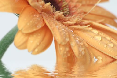 Design of Water, Gerbera, Yellow, Petal, Close-up, Moisture, Macro photography, Drop, Flower, Peach with green, gray, pink, red, orange, purple colors