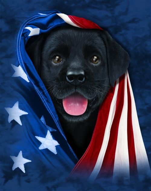 Design of Canidae, Dog, Dog breed, Flag, Snout, Carnivore, Sporting Group, Labrador retriever, Flag of the united states, Puppy with black, gray, white, blue, red colors